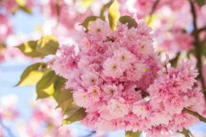 Zierkirschenzweig in voller Blüte, Prunus serrulata,