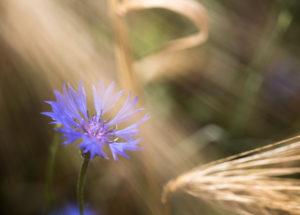blühende Kornblume in einem Getreidefeld, Centaurea cyanus, Zyane,