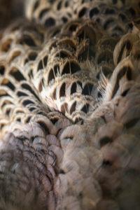 Detailaufnahme des Gefieders einer blauen Pfauenhenne, Pavo cristatus,