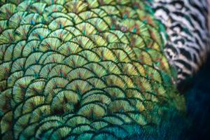 Detailaufnahme des Gefieders eines blauen Pfauenhahns, Pavo cristatus,