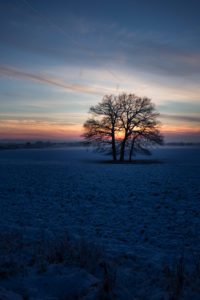 Eichen (Quercus robur) auf einem Feld, Winter, Abenddämmerung,
