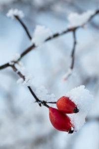 schneebedeckte Hagebutten im Winter, Rosa canina,