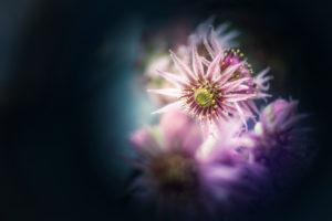 Nahaufnahme eines Hauswurz Blütenstandes, Sempervivum tectorum, Freistellung, Textfreiraum,