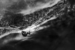 Webspinne ruht in ihrem Wohnnetz, starker Kontrast, Makroaufnahme,