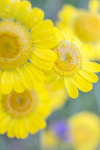 mehrere Blütenköpfe der Färberkamille, Anthemis tinctoria, Nahaufnahme,