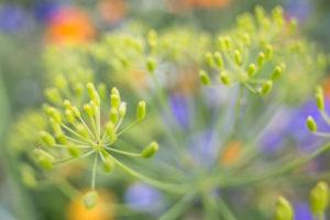 unreifer Fruchtstand eines Doldenblütlers in einer Blumenwiese, Apiaceae, Nahaufnahme,