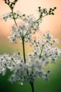 Blütenstand des echten Mädesüß, Filipendula ulmaria, Nahaufnahme,