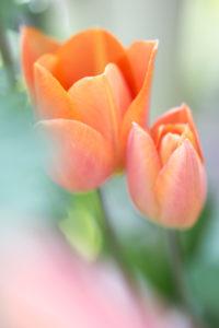 blühende Tulpen, Tulipa, Offenblende,