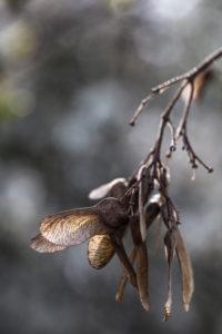 Früchte eines Ahorns vor grauem Hintergrund im Gegenlicht