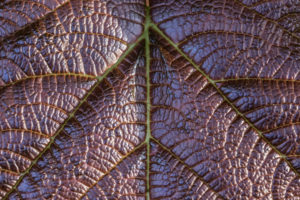 Leaf veins of a purple leaf