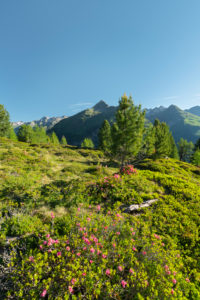View o the Hirschbichl in the Defereggental, alpine rose, Hutner (2885m), Hohe Tauern, Osttirol, Tyrol, Austria