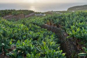 Banana plantations at San Andrés, island La Palma, Canary islands, Spain