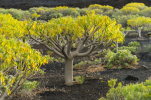 Volcano scenery at the Pico de Tablas, island La Palma, Canary islands, Spain