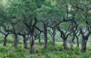 old cork oaks, Corsica, France