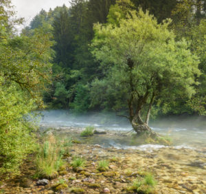 Tree in the Radovna river, fog, Slovenia, Europe