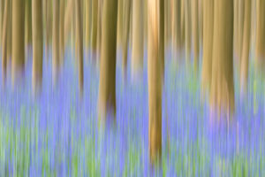 Abstract details of wood trunks of the Sequoia trees and bluebells in bloom in the Hallerbos forest Halle Belgium Europe