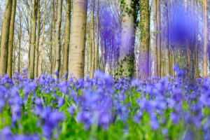 Purple carpet of blooming bluebells framed by trunks of the giant Sequoia trees in the Hallerbos forest Halle Belgium Europe