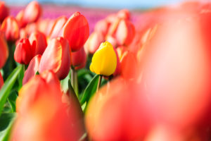 Close up of yellow tulip framed by a multitude of red tulips Oude-Tonge Goeree-Overflakkee South Holland The Netherlands Europe