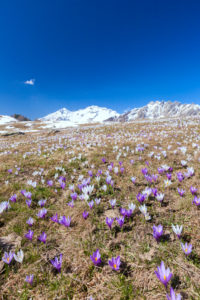 The snowy peaks frame the blooming Crocus Alpe Granda Sondrio province Masino Valley Valtellina Lombardy Italy Europe