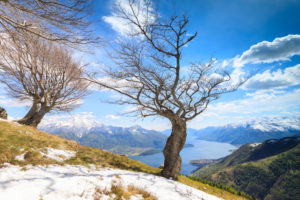 Isolated trees on meadows partially covered with snow with Lake Como on background Montemezzo Alpe Zocca Lombardy Italy Europe