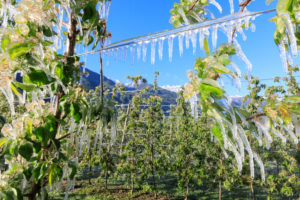 Close up of apple orchards covered with ice in spring