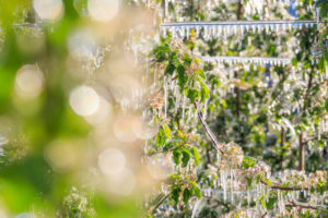 Close up of tree branches of apple orchards covered with ice Villa of Tirano Sondrio province Valtellina Lombardy Italy Europe