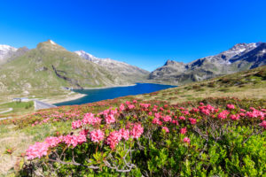 Rhododendrons on the shores of the basin, Montespluga, Chiavenna Valley, Sondrio province, Valtellina, Lombardy, Italy, Europe