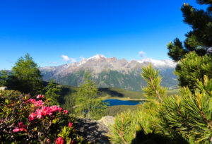 Rhododendrons and Lake Palô framed by Mount Disgrazia seen from Monte Roggione Malenco Valley Valtellina Lombardy Italy Europe