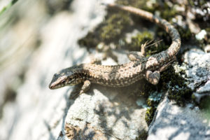 Forest lizard remains on stone and watches the surroundings