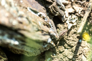 Forest lizard well camouflaged in hiding