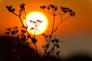 Verblühte Pflanze vor untergehender Sonne