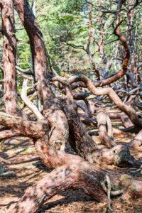 Sturmgepeitschte, krumme Kiefern im Naturschutzgebiet, Trollskogen im Norden von Öland