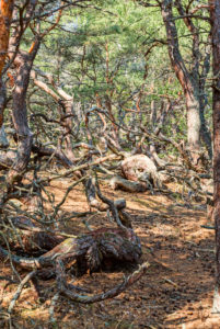 Storm-swept, crooked pine trees in the nature reserve, Trollskogen in the north of Öland