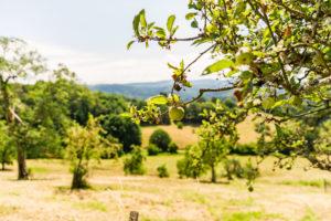 Ein Apfel hängt an Apfelbaum auf einer Streuobstwiese