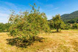 Apfelbaum auf einer Streuobstwiese