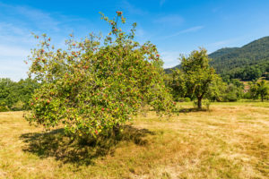 Apple tree on an orchard meadow