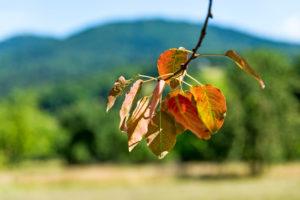 Zweig und Blätter eines Apfelbaumes im Bildvordergrund