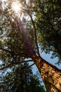 Mammutbaum bei der Stourdza-Kapelle