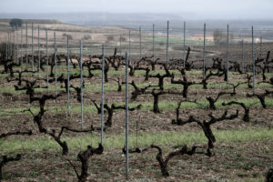 Landscape of vineyards at the end of winter in the region of Ribera del Duero wines in the province of Valladolid in Spain Europe