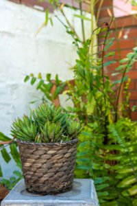 Fasciata haworthia plant in a detail of a Mediterranean style garden in Barcelona in the first days of spring