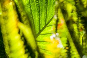 Pflanze, Blatt, Colocasia, Taro