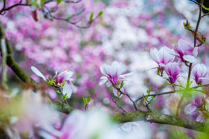 Baum, Magnolie, Blüte,
