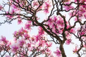 Tree, magnolia, blossom