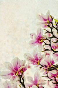 Magnolia, bloom, blooming