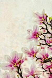 Magnolie, Blüte, blühen