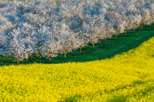 Landscape, flowering, rapeseed, fruit trees