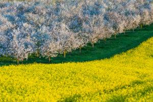 Landschaft, Blüte, Raps, Obstbäume