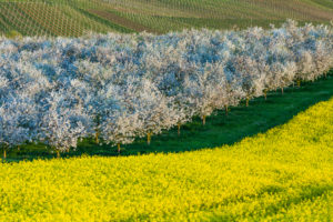 Landscape, blossom, agriculture,