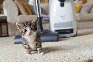 Cat, young, vacuum cleaner, carpet