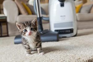 Katze, jung, Staubsauger, Teppich
